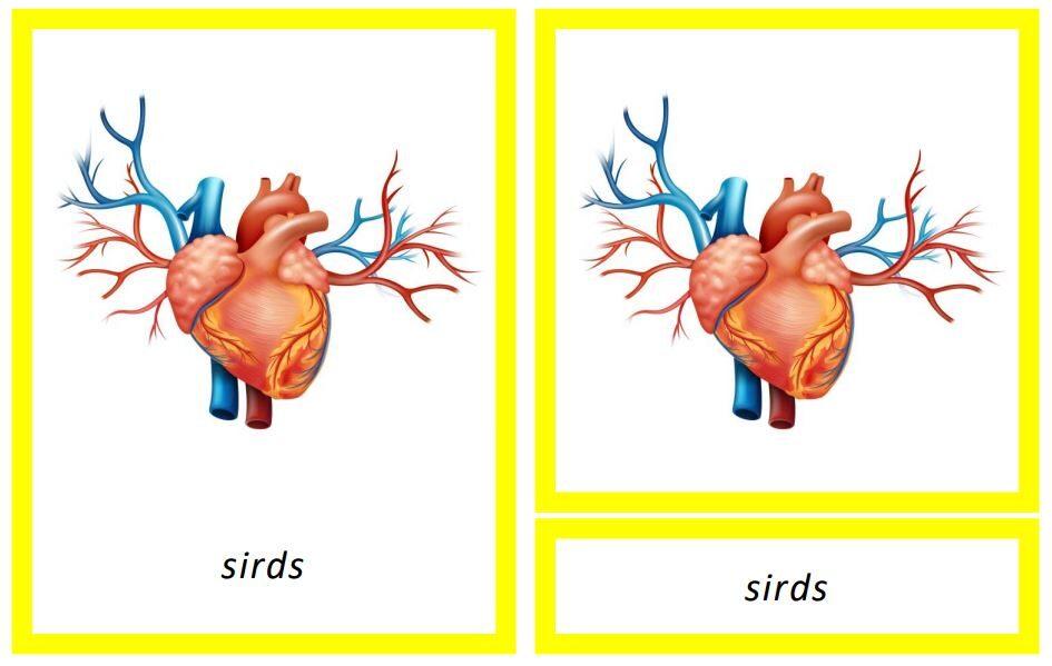 Cilvēka iekšējie orgāni