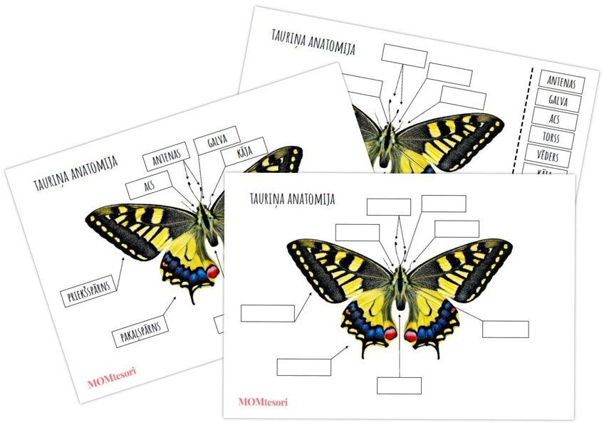 Plakāts/darba lapas - Tauriņa anatomija